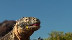 Galapagos land iguana, Conolophus subcristatus, HD, UP26400 Stock Footage