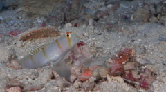 Randalls shrimpgoby, Amblyeleotris randalli, HD, UP16349 Stock Footage