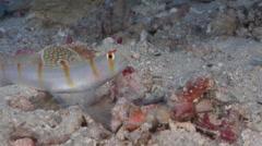 Randalls shrimpgoby, Amblyeleotris randalli, HD, UP16350 Stock Footage
