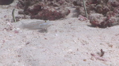 Orange-dashed goby feeding on sand and coral rubble, Valenciennea puellaris, HD, Stock Footage