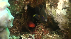 Blacktip cardinalfish swimming in crevice, Apogon atradorsatus, HD, UP26177 Stock Footage