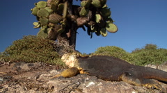 Giant prickly pear cactus looking around, Opuntia sp., HD, UP26408 Stock Footage