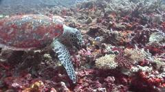 Hawksbill turtle feeding, Eretmochelys imbricata, HD, UP16361 Stock Footage