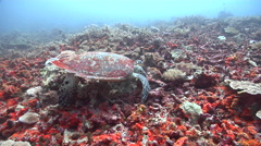 Hawksbill turtle feeding on deep coral reef, Eretmochelys imbricata, HD, UP16360 Stock Footage