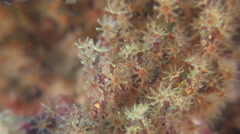 Soft coral feeding, Unidentified species, HD, UP26614 Stock Footage