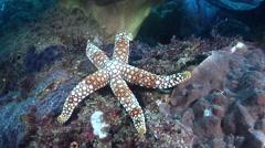Ornamented orange spot sea star walking on rocky reef, Gomphia mamillifera, HD, Stock Footage