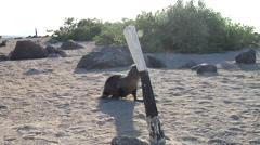 Juvenile Galapagos sea lion walking, Zalophus californicum wollebacki, HD, Stock Footage