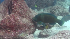 Bumphead parrotfish feeding on rocky reef, Scarus perrico, HD, UP26034 Stock Footage