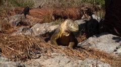Galapagos land iguana walking, Conolophus subcristatus, HD, UP26413 Stock Footage