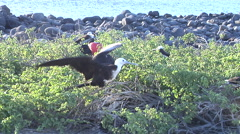 Adults and juveniles Magnificent Frigatebird, Fregata magnificens, HD, UP26069 Stock Footage
