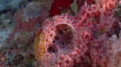 Pink sponge, Callyspongia sp., HD, UP26723 Stock Footage