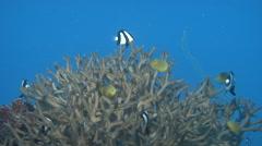 Humbug swimming and schooling, Dascyllus aruanus, HD, UP16377 Stock Footage
