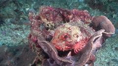 Red scorpionfish, Scorpaena cardinalis, HD, UP26536 Stock Footage