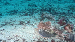 Spiny red gurnard on sand, Chelidonichthys spinosus, HD, UP26129 Stock Footage