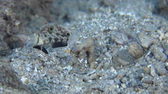 Twinspot goby housekeeping on sand, Signigobius biocellatus, HD, UP26771 Stock Footage