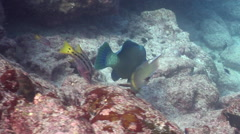 Bumphead parrotfish feeding on rocky reef, Scarus perrico, HD, UP26033 Stock Footage