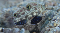Twinspot goby swimming on sand, Signigobius biocellatus, HD, UP26764 Stock Footage