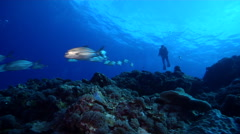 Distant scuba diver swimming on deep coral reef with Bigeye trevally in Solomon Stock Footage