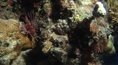 Ragged-fin lionfish, Pterois antennata, HD, UP16394 Stock Footage