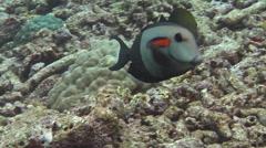 Orangeband surgeonfish swimming on rubble, Acanthurus olivaceus, HD, UP16400 Stock Footage