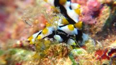 Juvenile Black tentacle sea cucumber feeding, Bohadschia graeffei, HD, UP16417 Stock Footage