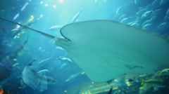 White stingray Manta swims in aquarium Stock Footage