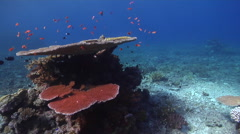 Ocean scenery table corals, on shallow coral reef, HD, UP16448 Stock Footage