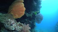 Red sea fan feeding, Annella sp., HD, UP16485 Stock Footage
