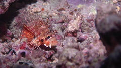 Zebra lionfish wobbling at night, Dendrochirus zebra, HD, UP16496 Stock Footage