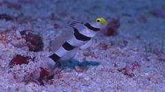 Yellownose shrimpgoby feeding, Stonogobiops xanthorhinica, HD, UP16497 Stock Footage