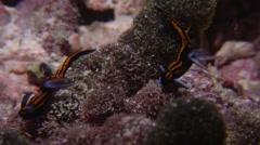 Blue gill orange line black slug walking at night, Roboastra gracilis, HD, Stock Footage