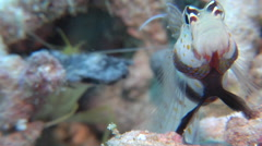 Spotted shrimpgoby, Amblyeleotris guttata, HD, UP16518 Stock Footage