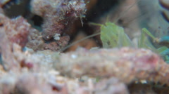 Spotted shrimpgoby housekeeping, Amblyeleotris guttata, HD, UP16520 Stock Footage