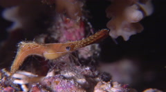 Plume shrimp feeding at night, Leander plumosus, HD, UP16531 Stock Footage