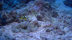 Juvenile Orangefin anemonefish swimming, Amphiprion chrysopterus, HD, UP16534 Stock Footage
