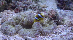 Juvenile Orangefin anemonefish swimming, Amphiprion chrysopterus, HD, UP16536 Stock Footage