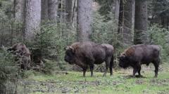European bison / Wisents (Bison bonasus) foraging in pine forest Stock Footage
