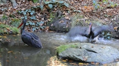 Two black storks (Ciconia nigra) bathing in pond in forest Stock Footage