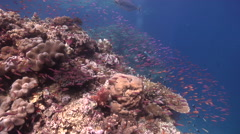 Ocean scenery planktivores streaming out away from beautiful healthy coral Stock Footage