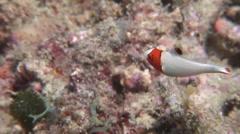Juvenile Bicolor parrotfish swimming, Cetoscarus bicolor, HD, UP16640 Stock Footage