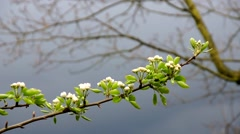 Early pear blossom not blooming yet branch lightly moving by wind - stock footage