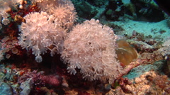 Flower coral feeding, Xenia sp., HD, UP16716 Stock Footage