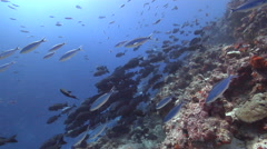 Adults and juveniles Black and white snapper and schooling in deep channel, Stock Footage