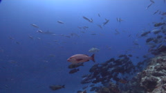 Grey reef shark swimming in deep water passage, Carcharhinus amblyrhynchos, HD, Stock Footage