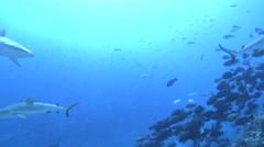 Grey reef shark swimming in deep water passage, Carcharhinus amblyrhynchos, HD, - stock footage