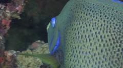 Semicircle angelfish swimming, Pomacanthus semicirculatus, HD, UP16773 Stock Footage