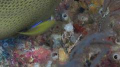 Semicircle angelfish feeding, Pomacanthus semicirculatus, HD, UP16774 Stock Footage