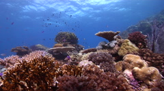 Ocean scenery beautiful hard corals, on shallow coral reef, HD, UP16781 Stock Footage