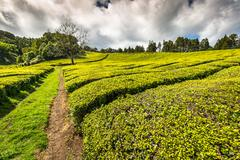 Portugal Azores Islands Sao Miguel tea plantation Stock Photos