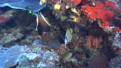 Criss-cross butterflyfish swimming, Chaetodon vagabundus, HD, UP16798 Stock Footage